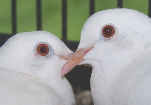 White dove mated pair