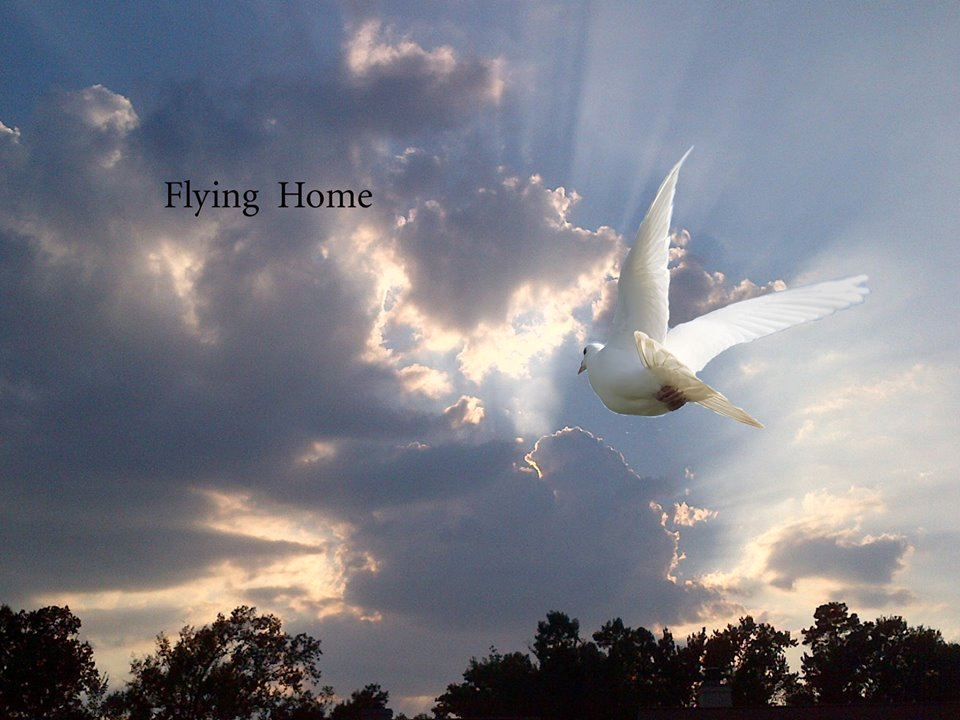white dove flying home