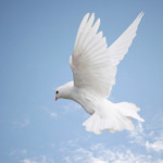 dove-bird-flying-white-spirituality-symbols-of-peace-wing.jpg